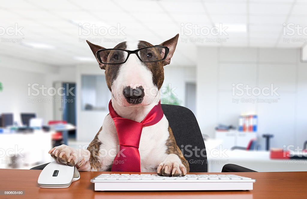 Business dog at work stock photo