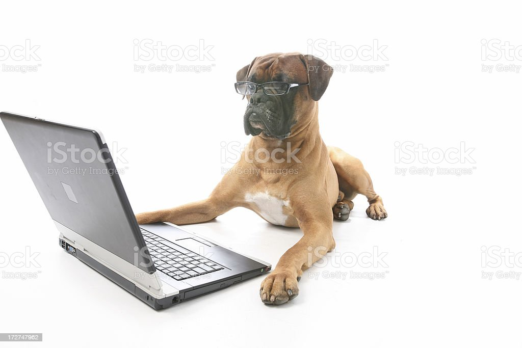 Business dog royalty-free stock photo