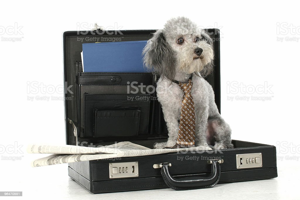 Business Poodle royalty-free stock photo