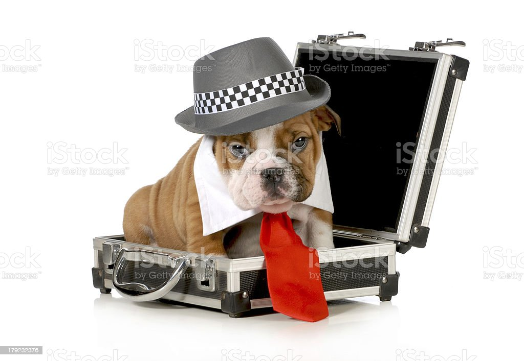 business puppy royalty-free stock photo