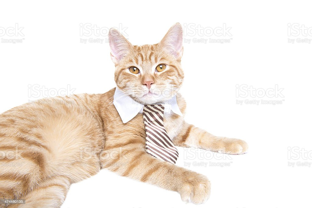 Business red cat suited with a tie royalty-free stock photo