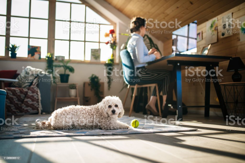 Businesswoman Working In Office While Little Dog Playing With Ball...