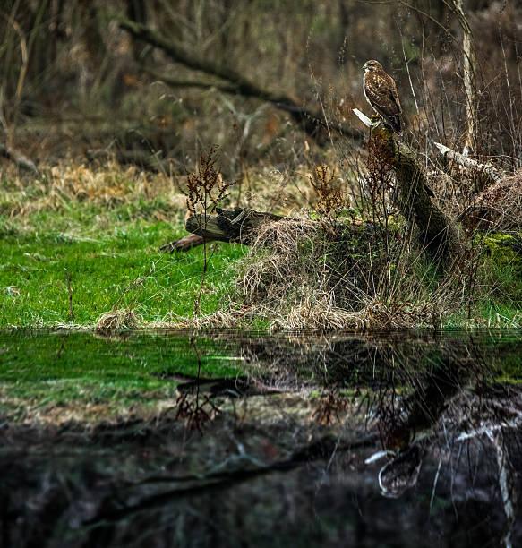 bussard in the ground caribou - karnivoren stock-fotos und bilder