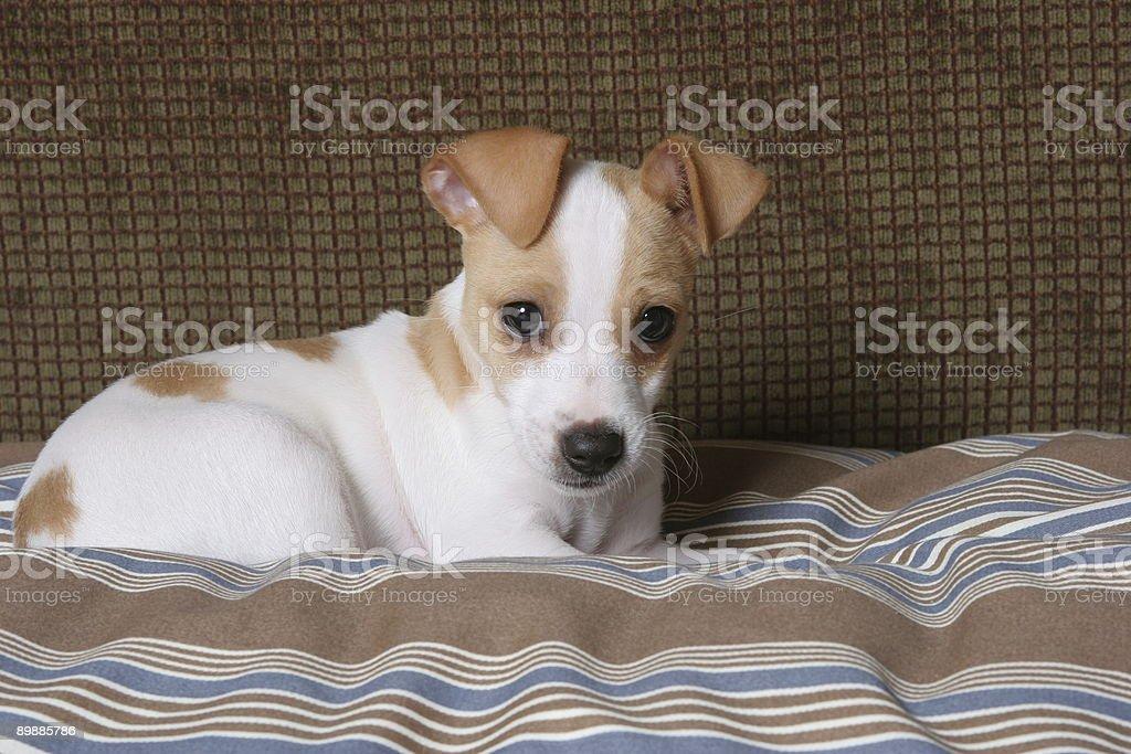 Buster o cachorrinho foto de stock royalty-free