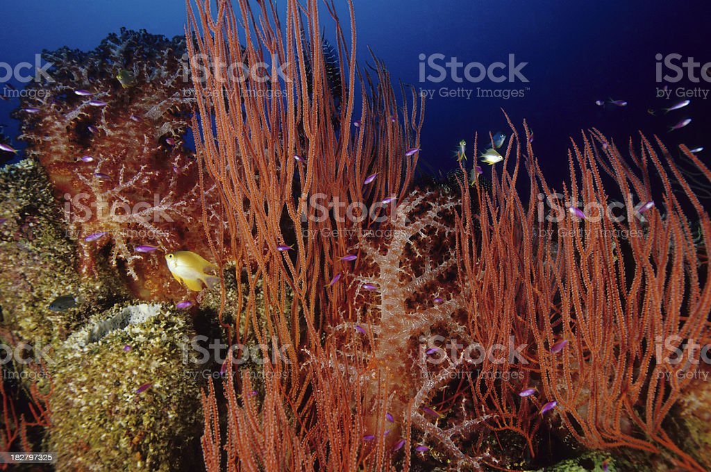Bustling Red Reef stock photo
