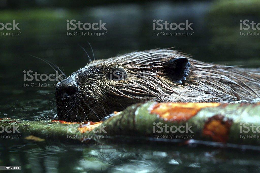 Beschäftigt Beaver – Foto