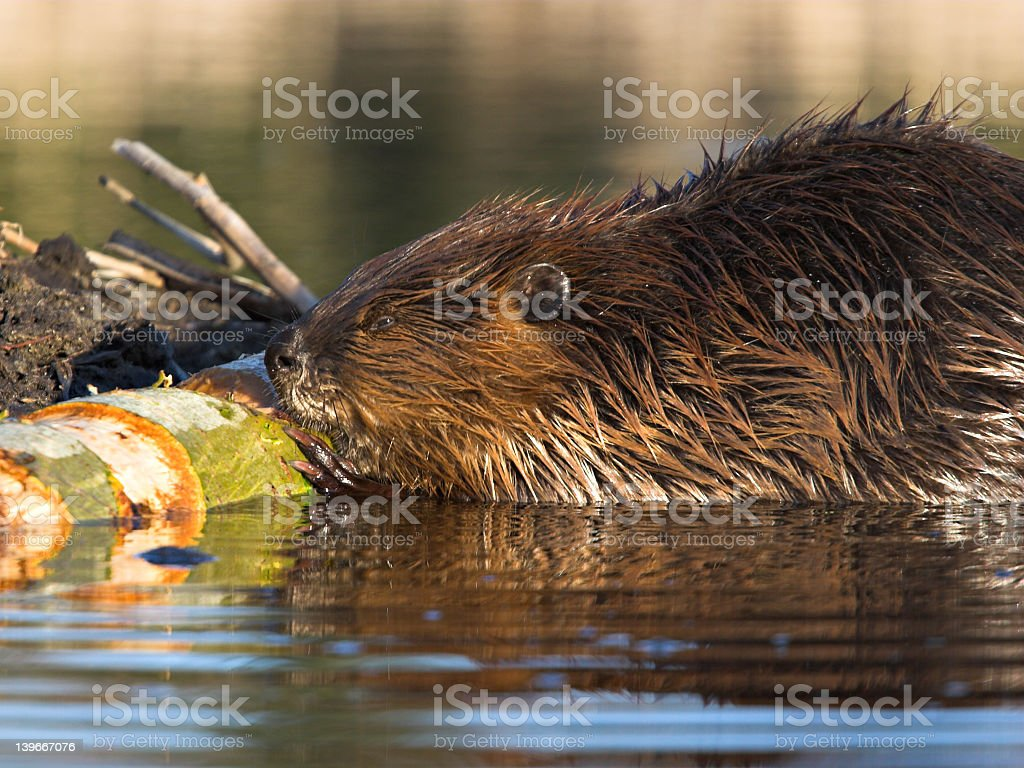 Busy beaver working and swimming in a pond on Lake Michigan royalty-free stock photo