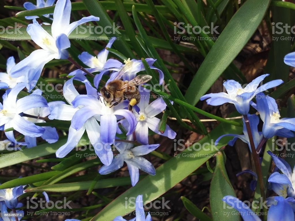 Busy Bee Drinking From Blue Flower stock photo