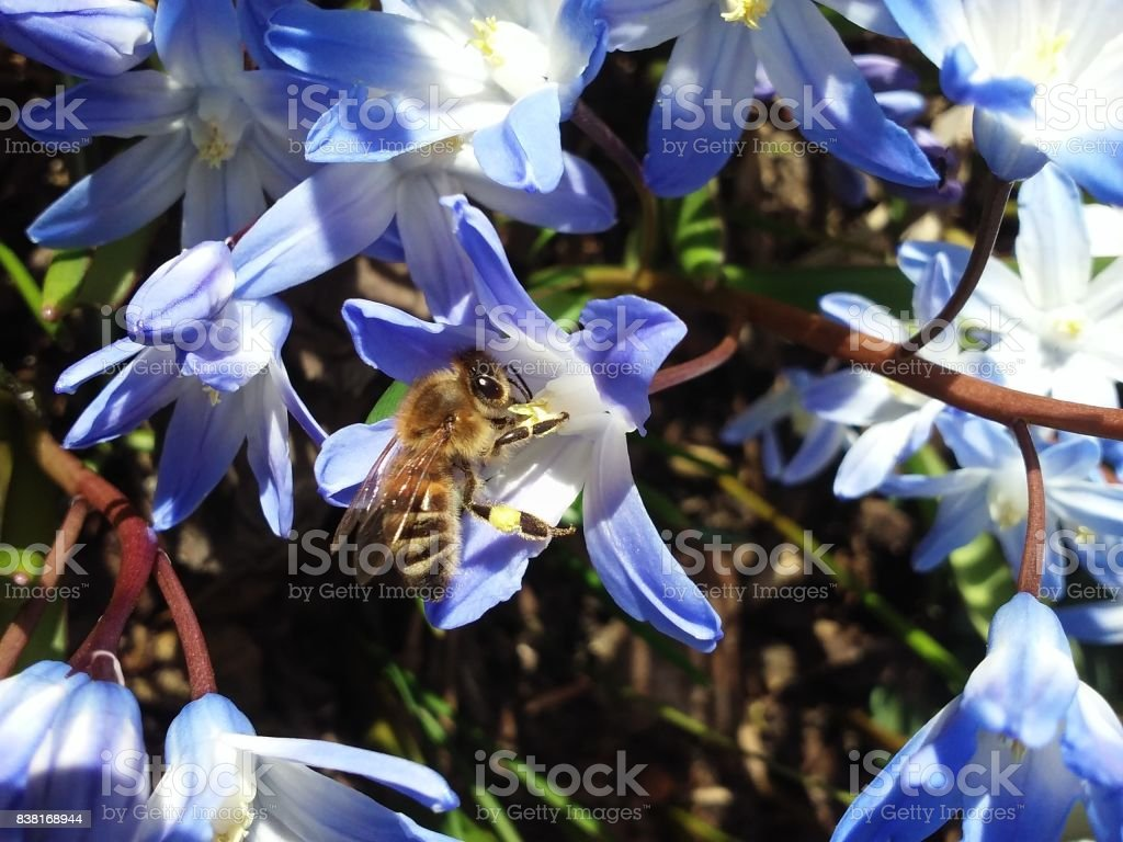 Busy Bee on Blue Flower stock photo