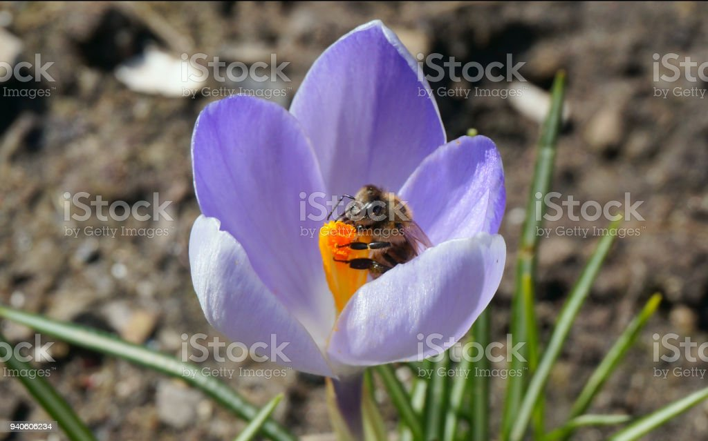Busy bee on spring crocus flower Close-up of busy bee on spring crocus flower in the gentle sunlight Bee Stock Photo