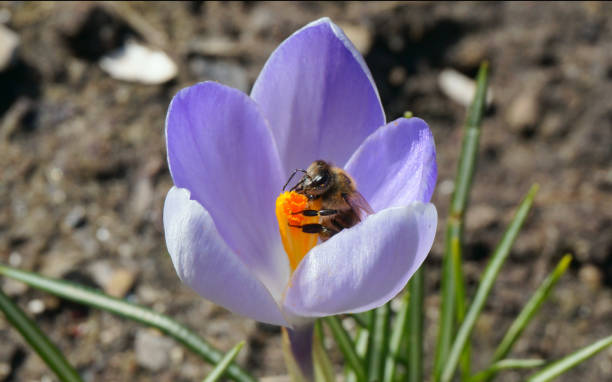 Busy bee on spring crocus flower stock photo