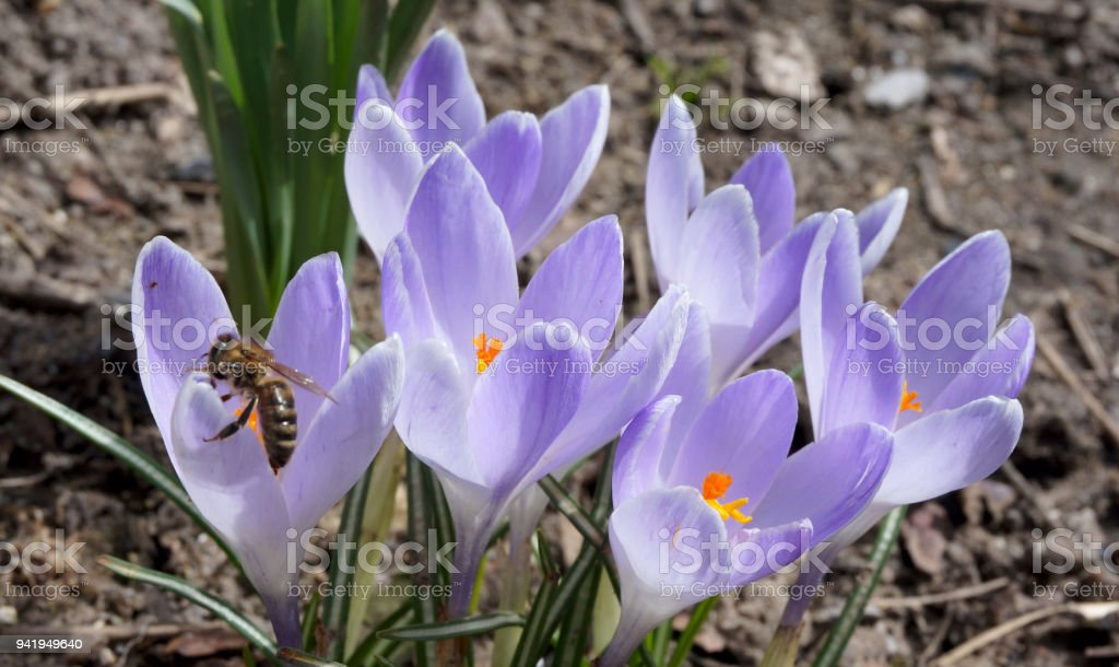 Busy bee on spring crocus flowers Busy bee on spring crocus flowers in the gentle sunlight April Stock Photo