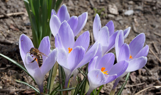 Busy Bee On Spring Crocus Flowers Stock Photo - Download Image Now