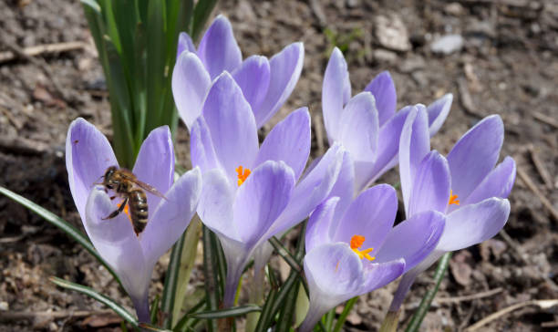 Busy bee on spring crocus flowers stock photo