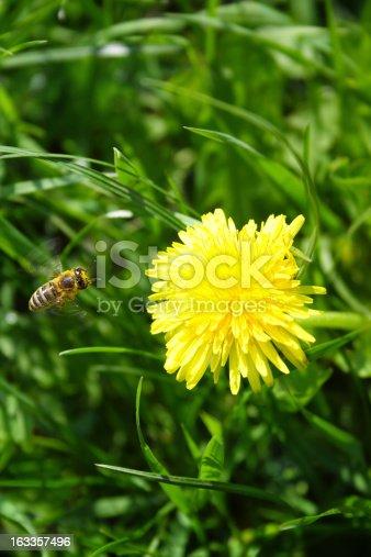 Honey bee landing on dandalion