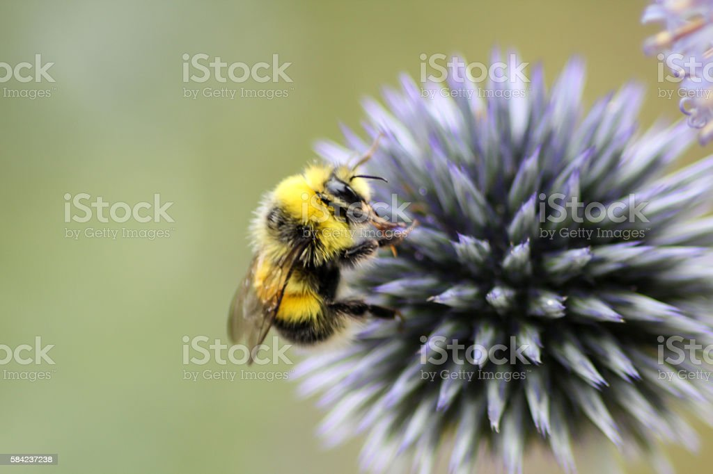 Busy Bee stock photo