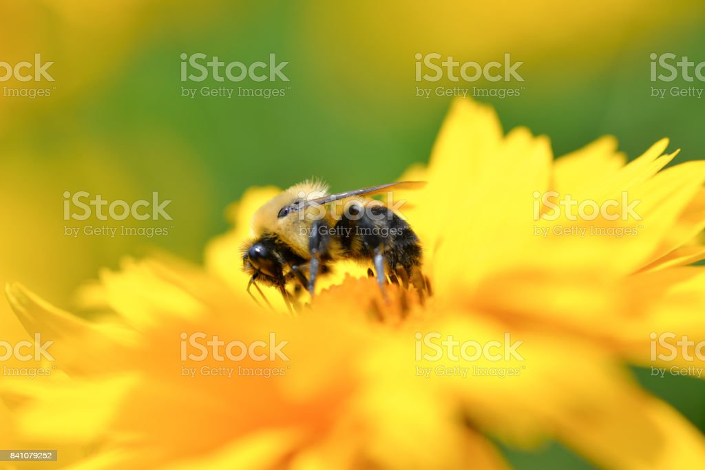 Busy Bee - foto stock