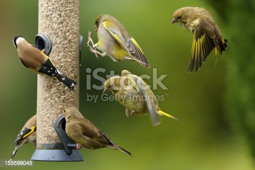 Greenfinches and Goldfinches on and around a bird feeder.