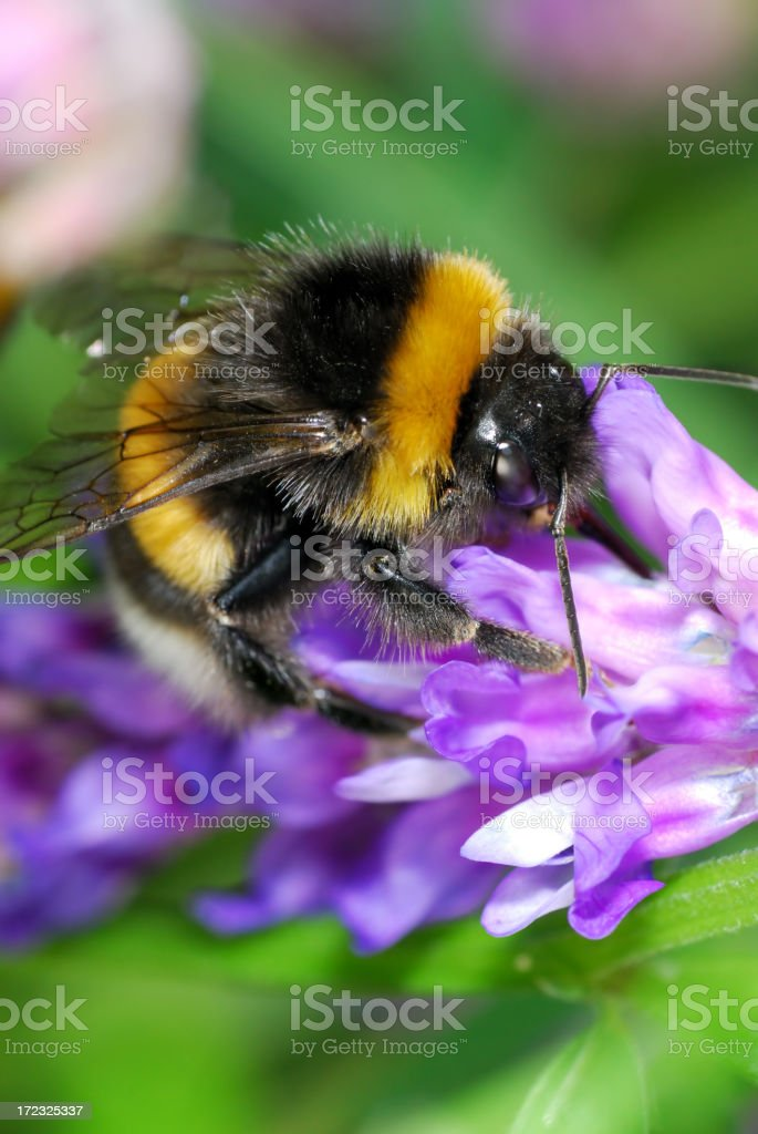 busy bumblebee stock photo
