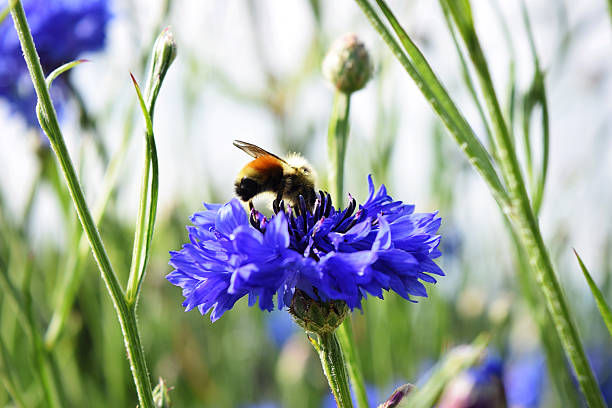 Busy Striped Honey Bee on Blue Cornflower Nature Garden Flower An orange, yellow, and black honey bee is actively working at getting nectar from a bright blue cornflower in a summer wildflower garden in northern British Columbia.   symbiotic relationship stock pictures, royalty-free photos & images