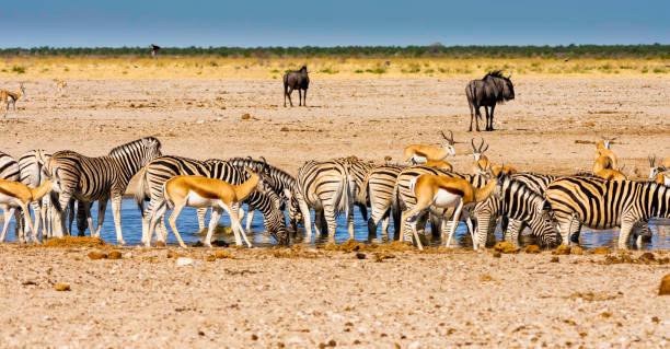 A busy waterhole in Etosha, Namibia. stock photo