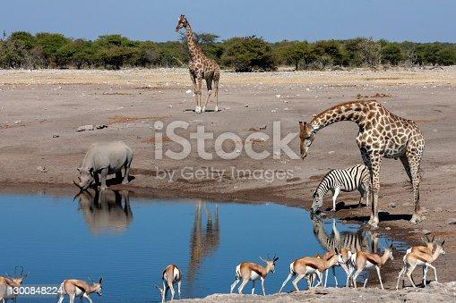 Busy waterhole in Etosha National Park in Namibia, Africa - Giraffe, Black Rhinoceros, Zebra and Springbok antelopes.