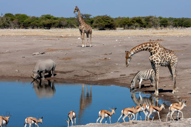 Busy waterhole in Etosha National Park in Namibia stock photo