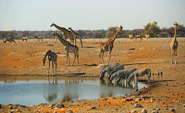 Busy waterhole with Giraffes and zebras drinking – Foto