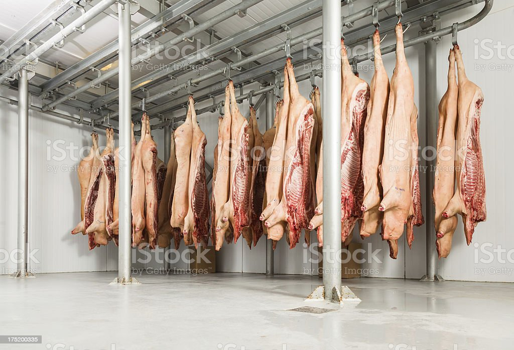 Butchered pig carcasses hanging in a refrigerated area stock photo