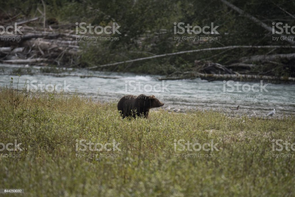 Bute Inlet Grizzly Bear stock photo