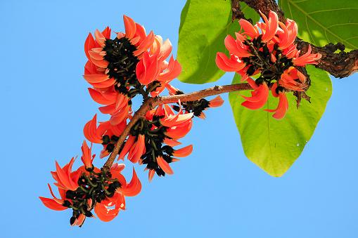 Butea Monosperma Is A Mediumsized Tree Stock Photo Download
