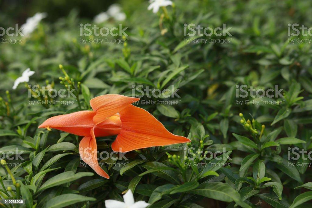 Butea monosperma (Lam.)Taubert. flower in hand stock photo