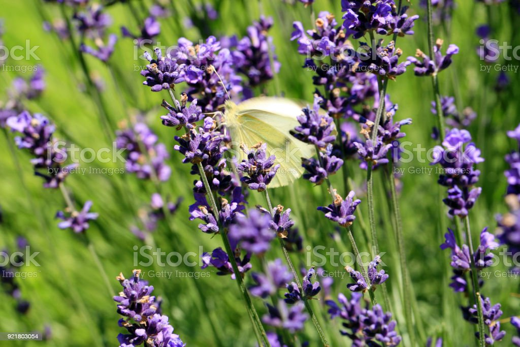 Buterfly cabbage butterfly on flower, macro. stock photo