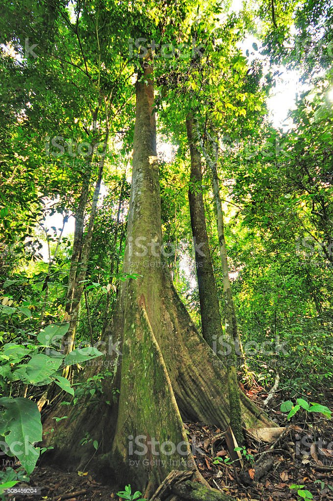 Butress roots from tree in the jungle, Sabah Borneo Malaysia stock photo