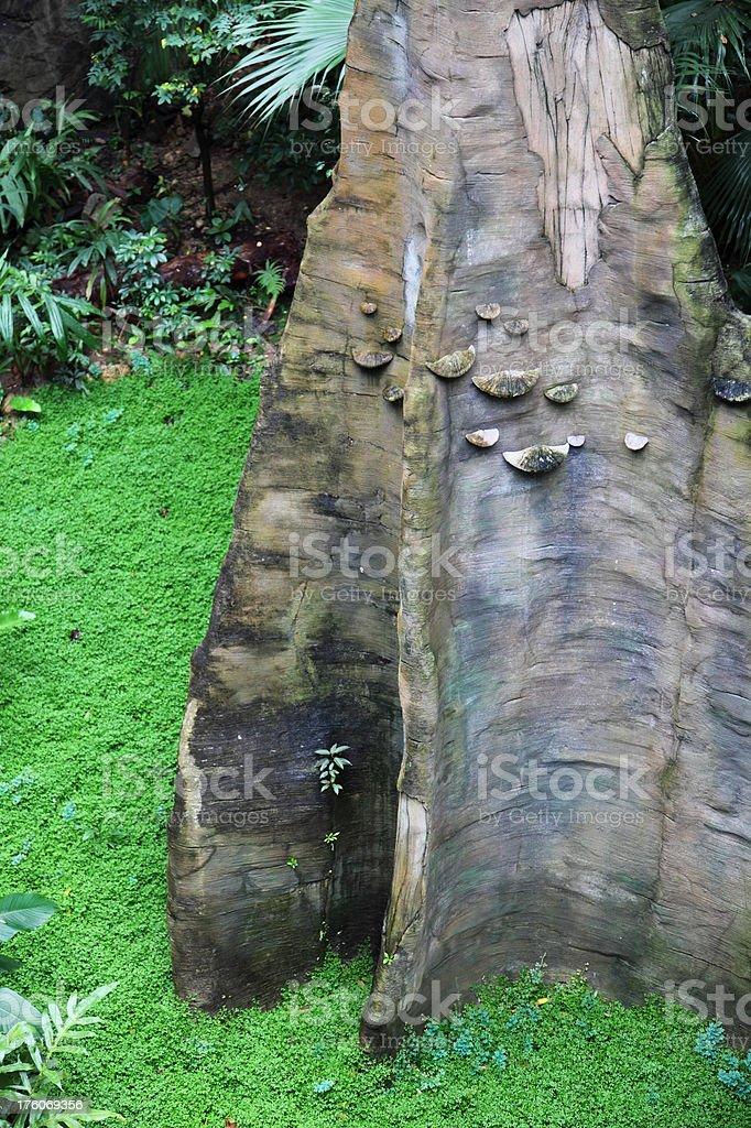 Butress roots, Pterocarpus Indicus stock photo