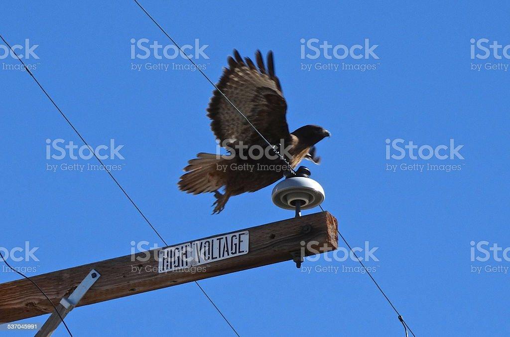 Butte Valley Ferruginous Hawk stock photo