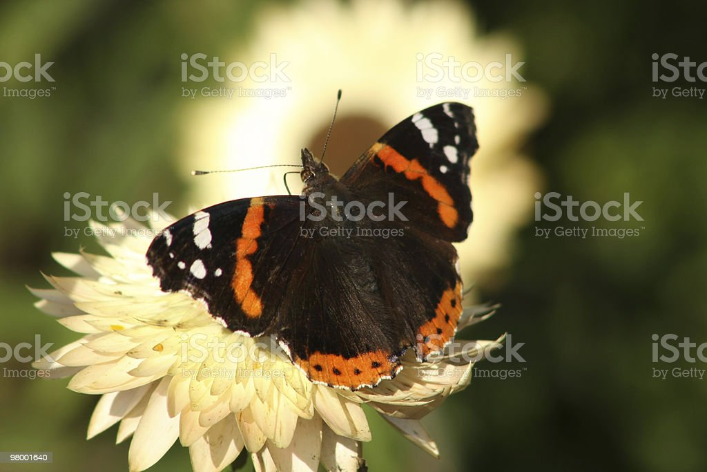Buttefly royalty-free stock photo