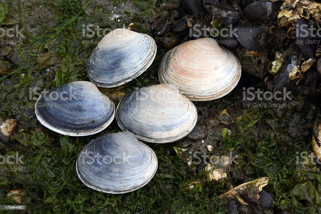 Butter Clams stock photo