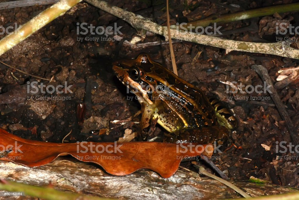 Rã-manteiga (Leptodactylus latrans) | Butter Frog stock photo
