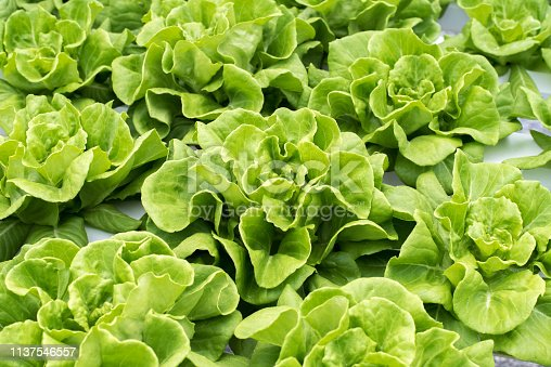 Fresh leaves of butter lettuce at hydroponic farm, a close-up.