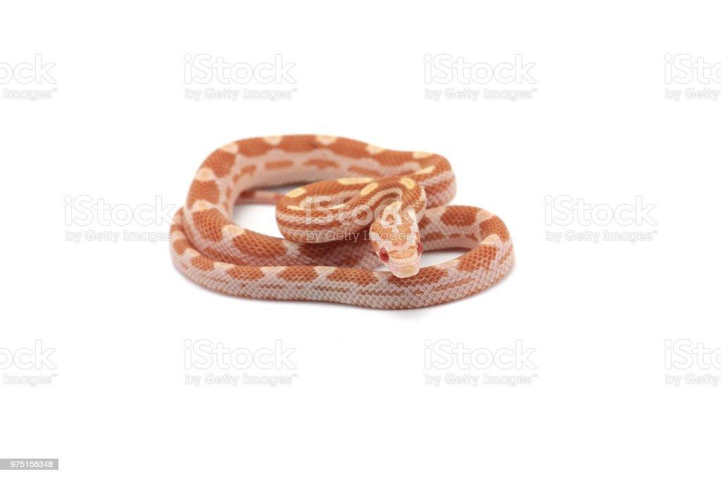 Butter Motley Corn Snake Isolated On White Background Stock