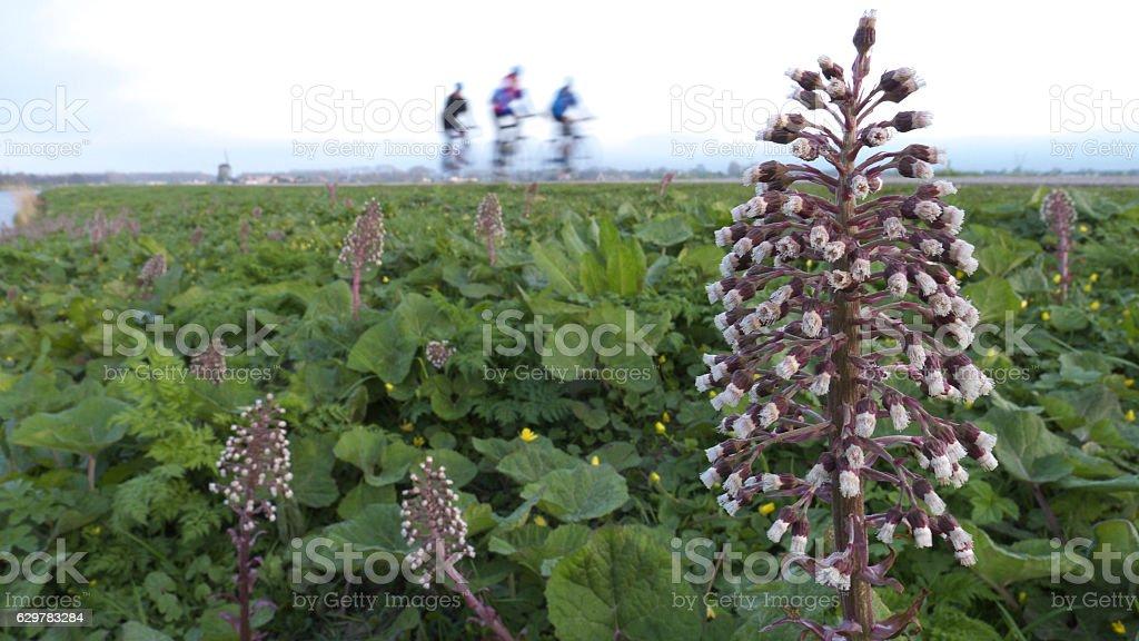 butterbur (Petasites hybridus) stock photo