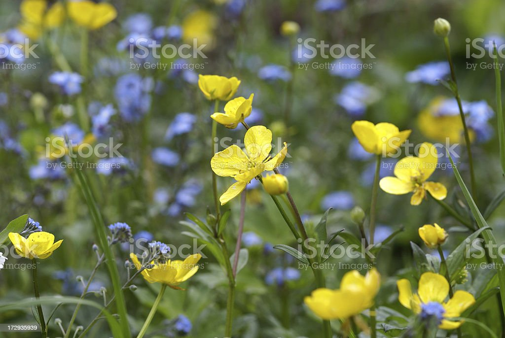 Buttercup and forget-me-not flowers stock photo