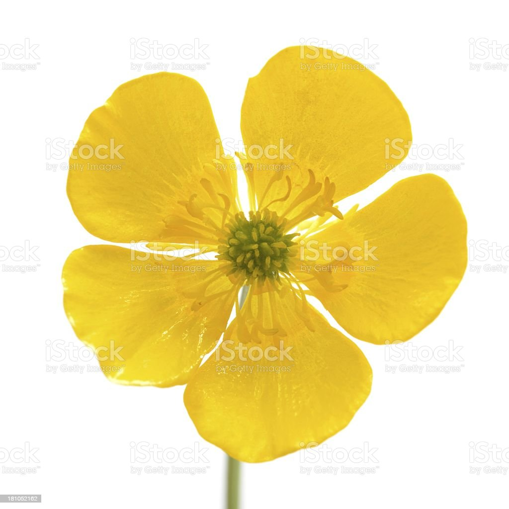 Buttercup close-up stock photo