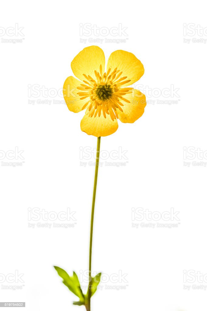 buttercup flower isolated on white background stock photo