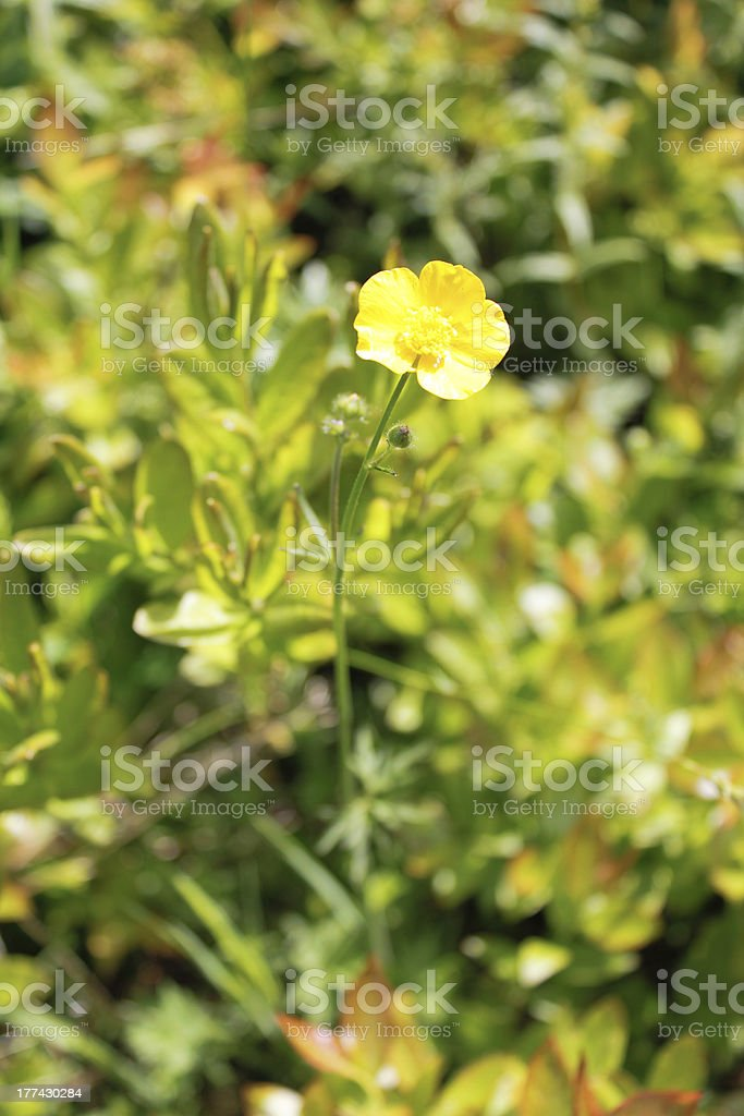 Buttercup Flower royalty-free stock photo