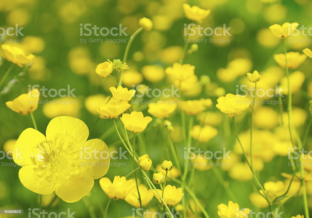 buttercup flowers and summer day stock photo