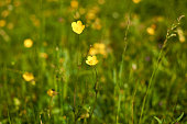 Close-up of yellow mountain buttercup flowers in springtime - suitable as a background
