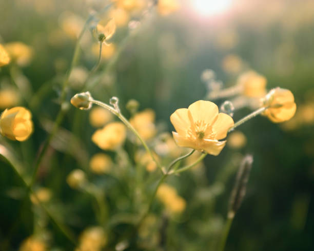 Buttercup Flowers Backlit By The Setting Sun stock photo
