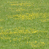 Flowers of the Meadow Buttercup (Ranunculus acris) cover an Oxfordshire meadow in springtime